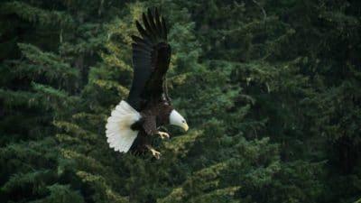 An eagle flying through the sky.