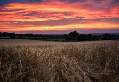 Photo of a wheat field during sunset.