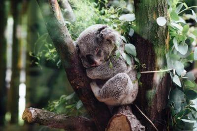 A koala bear sleeping in a forest.