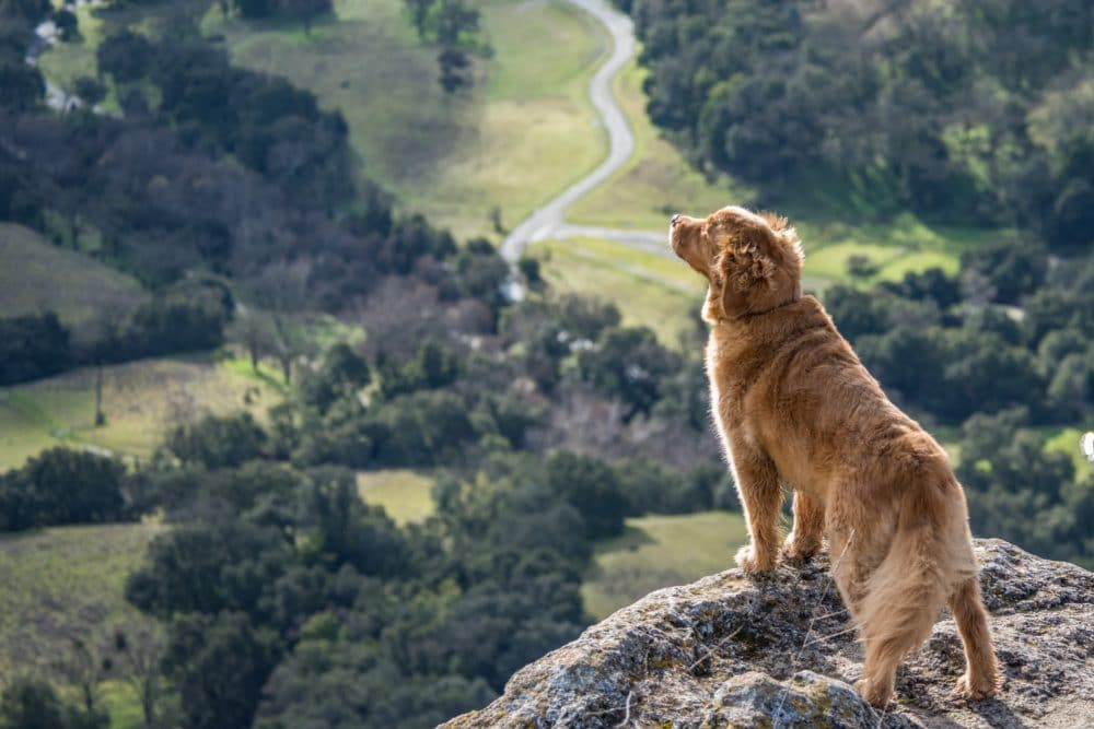 On dog on a cliff looking at the mountains.
