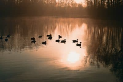 Ducks on a lake in Missouri.