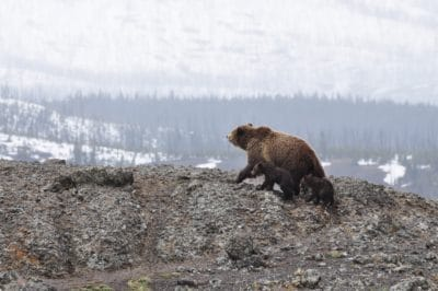 Grizzly bear walking on a mountain.