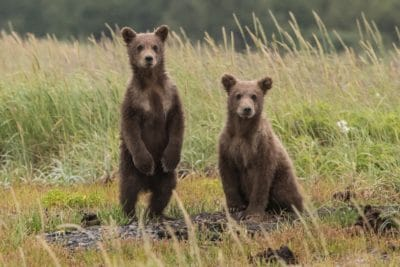 Two bear cubs in a field.