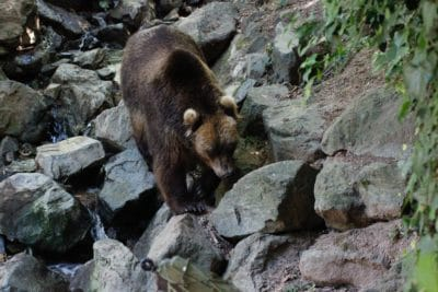 Brown bear on rocks.