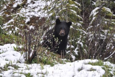 A black bear in the snow and forest.