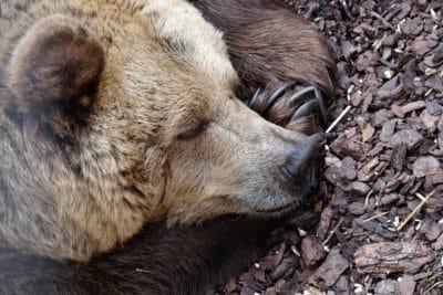 A grizzly bear sleeping.