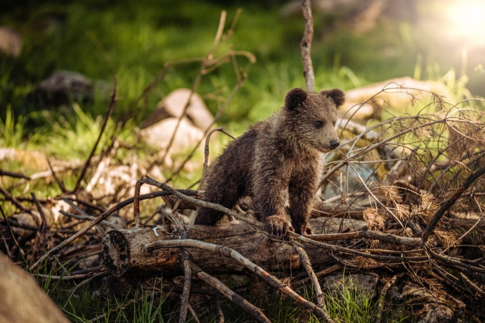 A brown bear cub in the forest.