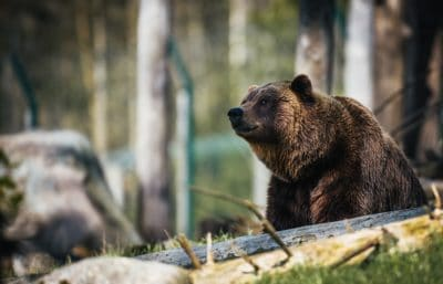 An American brown bear in the forest.
