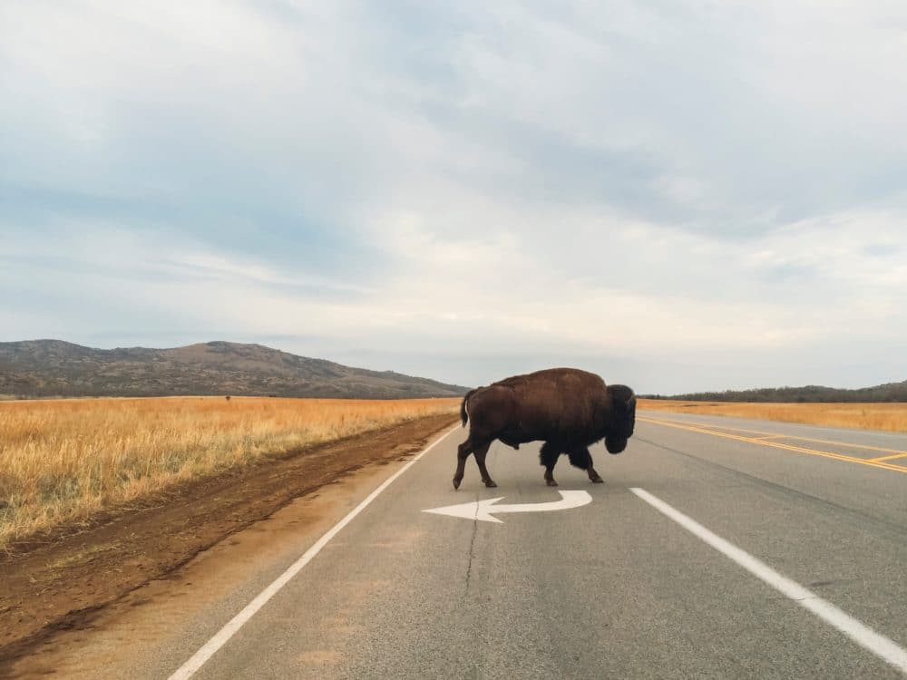 A buffalo in the middle of the street.