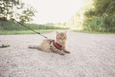 Brown cat with a leash on the ground outside.
