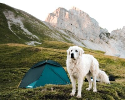 A white dog next to a green tent in the mountains.