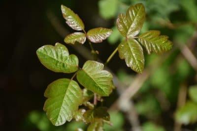 Poison ivy.