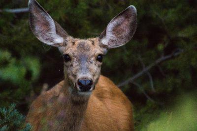 A brown deer in the woods.