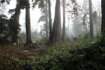 Forrest surrounded by fog.