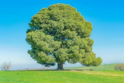 A sycamore tree.