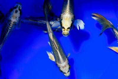 Carp swimming in water.