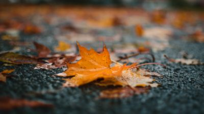 A maple leaf in the rain.