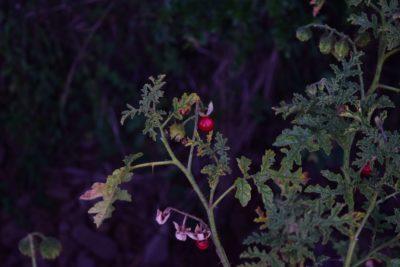Yew berries.