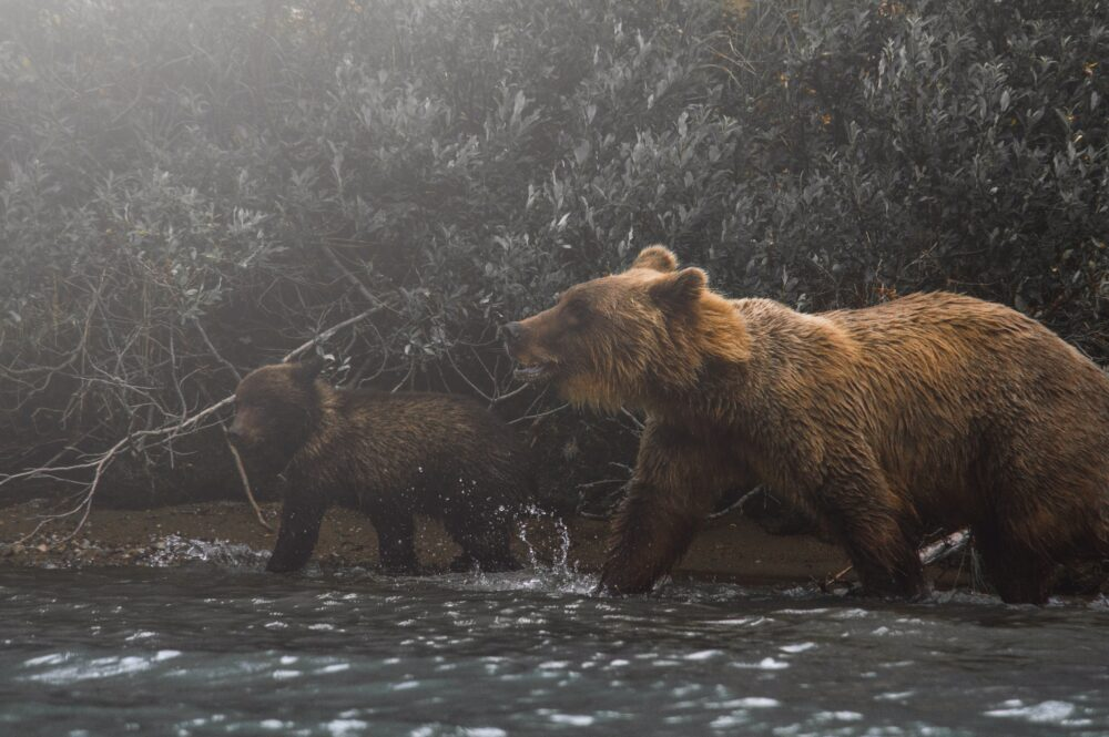Bears in the woods.