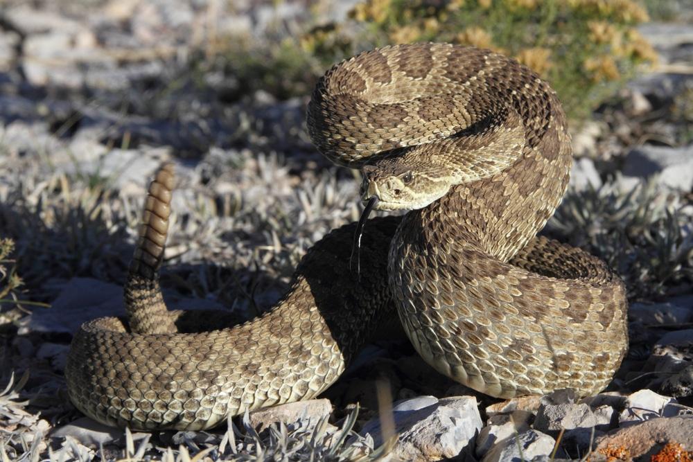 Prairie rattlesnake in Wyoming prairie