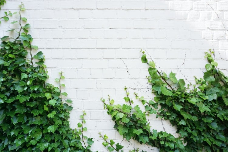 outdoor ivy plant