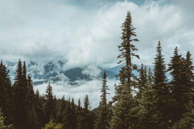 Pine trees on the horizon